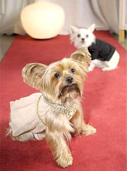 Lily (L) wears the J-Lo gown and Rocco the Leo tux at Little Lily in Los Angeles. Canine Couture