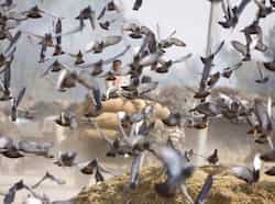 Pigeons flying in a flock at Bhagtanwala grain market, while a horse cart loaded with paddy crop passing nearby in Amritsar on Thursday. Munish Byala/HT Region in pics