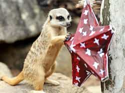 A Meerkat plays with a Christmas decoration at Taronga Zoo in Sydney. In the lead up to Christmas a selection of the zoo animals were challenged with Christmas-themed environmental enrichment activities.  AFP PHOTO / Greg WOOD
