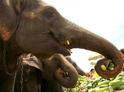 Elephants are offered food during the opening of the 11th King