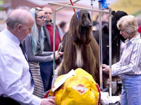 "An Afghan Hound is groomed during the first day of the Crufts dog show in Birmingham, in central England. The annual event sees dog breeders from around the world compete in a number of competitions with one dog going on to win the ""Best in Show"" category. AFP PHOTO Dog"
