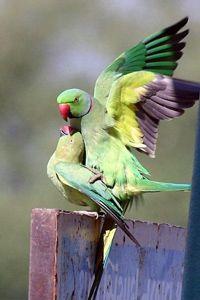 Parakeets mating. Photo: Niraj V Mistry