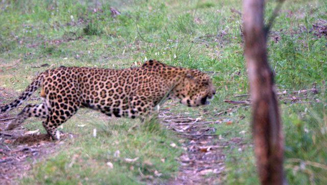 http://www.hindustantimes.com/Images/popup/2015/5/leopard-111_compressed.jpg