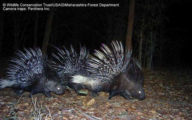 https://www.hindustantimes.com/Images/popup/2015/8/Porcupine_WCT_Camera_Trap_M.jpg