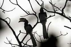The great Pied Hornbill photos: Ajit Eusebius Bandhavgarh